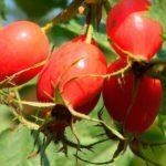 Чернослив, курага и сенна: эффективный рецепт от запора