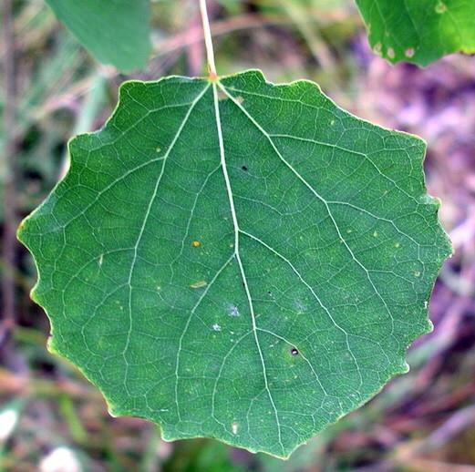 Компрессы от геморроя на основе осиновых листьев
