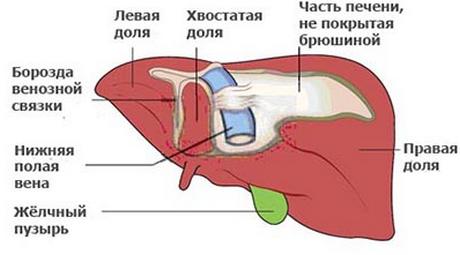 Сегменты печени: сколько выделяют по Куино, как выглядит на УЗИ, КТ, МРТ, анатомия левой и правой долей, схема