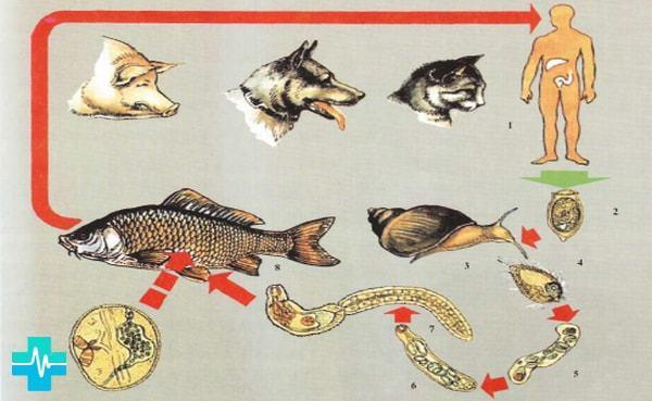 Печеночный сосальщик: место обитания и способ размножения, промежуточный и основной хозяин, как может заразиться человек, симптомы и признаки, поражаемые органы
