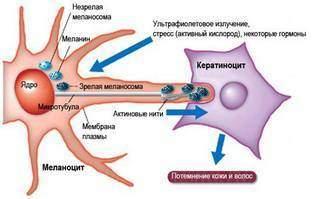 Меланин: что это такое, какие функции выполняет, как его снизить или повысить