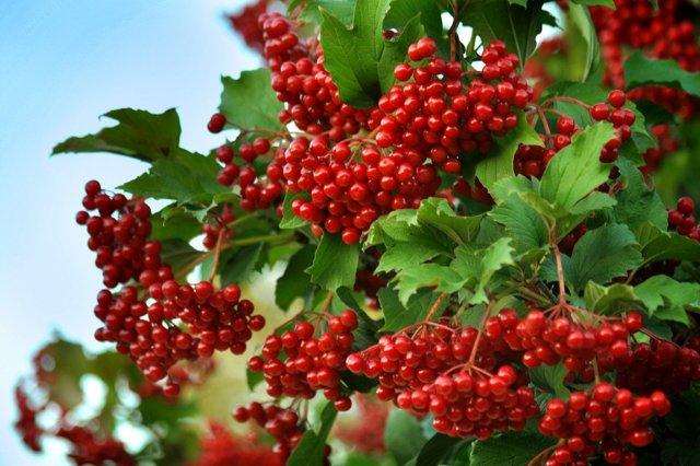 Травы для печени: перечень полезных фитосредств для поджелудочной железы и желчного пузыря, состав печёночных сборов, расторопша, чистотел, бессмертник