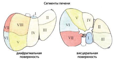 Функции печени: барьерная, глюкостатическая, эндокринная, секреторная, белковообразовательная, анатомия и строение, размеры, доли, связки, паренхима, воротная вена