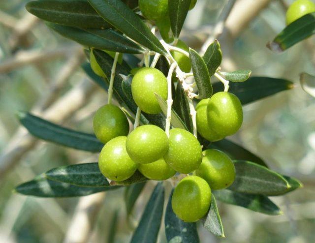 Оливковое масло для лица от морщин: омоложение кожи вокруг глаз, рецепты масок