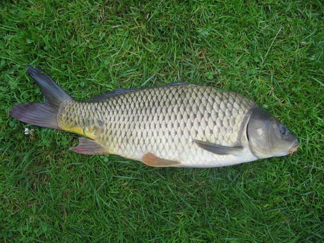 В какой рыбе есть описторхоз: пелядь, щекур, щука, форель, список