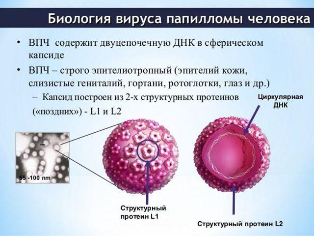 Кровь на ВПЧ: как подготовиться к сдаче анализа на вирус папилломы, расшифровка результатов